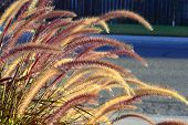 foto of fountain grass  - Fountain grass long stems beautiful fluffy brush in the summer garden - JPG