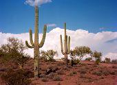 pic of southwest  - Saguaro Cactus cereus giganteus in Arizona desert - JPG