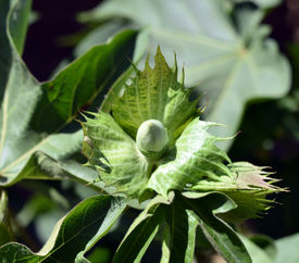 stock photo of pima  - Cotton plant with green leaves and flowers fresh.