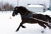 Canadian Horse In Winter Competiton