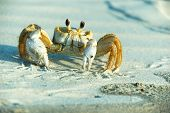 Male Ghost Crab  - Ocypode ceratophthalma