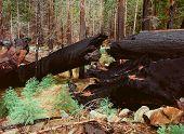 Burnt Giant Sequoia