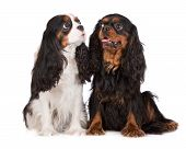two adorable cavalier king charles spaniel dogs