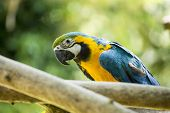 image of parrots  - Blue & Yellow McCaw Parrot spotted in the wild in Africa ** Note: Visible grain at 100%, best at smaller sizes ** Note: Soft Focus at 100%, best at smaller sizes - JPG