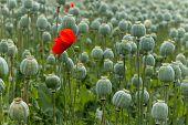 Papaver Field Single Poppy Flower