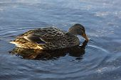 Female Duck Swimming On The Lake