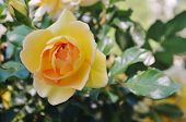 Close-up of a yellow rose.