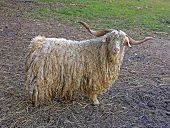 White Hairy Angora Goat