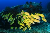 School of fish: yellow Snappers