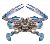 Blue sea crab isolated on white background.