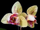 Yellow Triangle Phalaenopsis