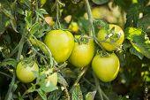 Green Tomatoes in a organic garden