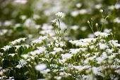 stock photo of greater  - White flowers of Stellaria holostea  - JPG