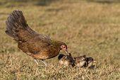 newborn chickens and her mother hen