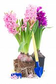 Gardening Tools With Hyacinth