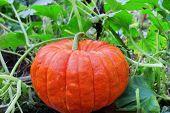 Big Ripe Pumpkin  In The Patch