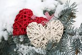 Covered with snow and wicker hearts branch of spruce, outdoors