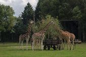 Family Of Giraffes Feeding