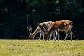 Pair Of Spotted Male Deer