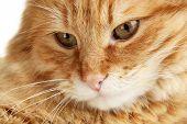 Portrait of red cat, macro view
