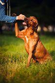Rhodesian Ridgeback Dog Training
