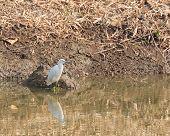 little egret bird standing