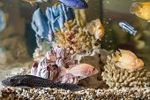 foto of parrots  - Home aquarium with fish Parrots Hypostomus plecostomus and Malawi cichlids - JPG