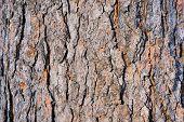 Cedar bark. Abstract background. Winter. Siberia. Khakassia.