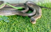 picture of cobra  - Cobra snake in the background of green grass - JPG