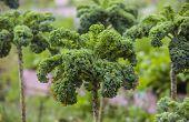 Kale Plant Row Close Up