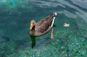 Banded Duck Floating In The Alpine Lake