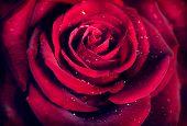 Red Rose Flower close up background. Beautiful Dark Red Rose closeup. Symbol of Love. Valentine card design