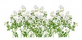 White Rose Sprays, Arranged garden-like