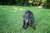 Labrador Puppy On Lawn