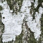 Illustration of the bark birch