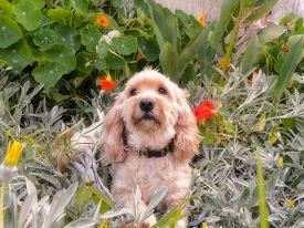 picture of cockapoo  - A close - JPG