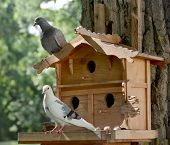 stock photo of pigeon  - Two pigeon sit near their house - JPG