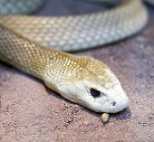 picture of genova  - detail of taipan snake in a museum in genova - JPG