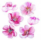 image of sakura  - Sakura spring flowers isolated on white - JPG