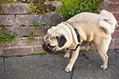 picture of pug  - Male pug dog is pissing on the wall of red bricks - JPG