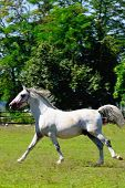 image of lipizzaner  - Lipizzaner horse running around the green meadow - JPG