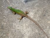 image of lizards  - Green lizard enjoying the photography in the spring sunshine - JPG