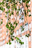 stock photo of birching  - twig of green birch tree and urban house on background in spring - JPG