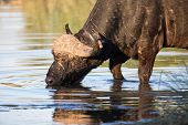 stock photo of cape buffalo  - Thirsty Cape buffalo bull drinking water from a pond - JPG