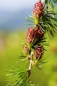 picture of cone  - Branch with cones - JPG