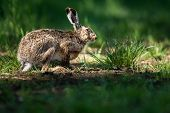 foto of hare  - Brown hare  - JPG