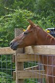 Horse Over Fence