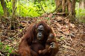 picture of orangutan  - Lovely photo of wildlife animal orangutan in Borneo forest Sumatra Indonesia  - JPG