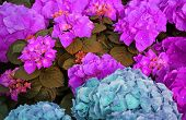 picture of greenhouse  - big pink and cyan hortensia in greenhouse  - JPG
