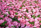 stock photo of greenhouse  - background Pink petunias in the great greenhouse - JPG